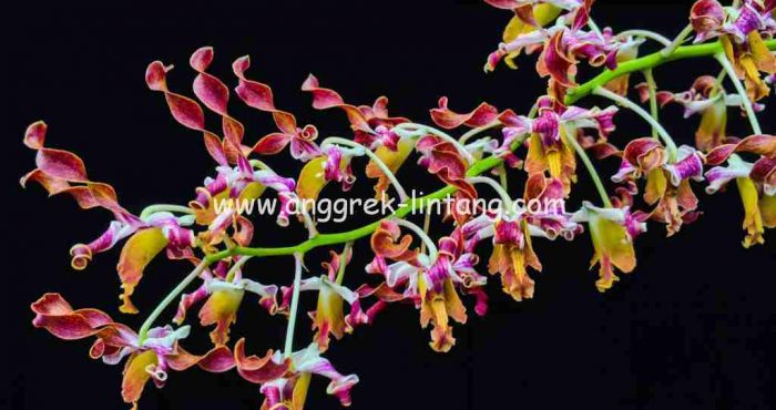 You are here : home / orchid / dendrobium hybrid / dendrobium discolor